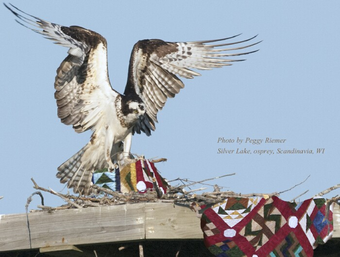 Osprey with Quilt